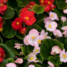 Бегония вечноцветущая, гибридная, микс, Begonia semp, кассета,Собс.пр.
