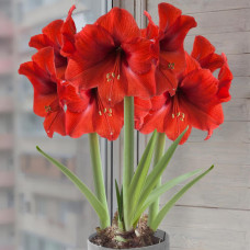 Гиппeаструм Ред Лион Hippeastrum Red Lion,2л.Собс.пр