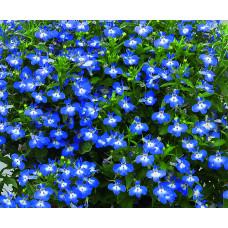 Лобелия компактная раннецветущая синяя с белой серед.,Lobelia er Early Sky Blue/Eye,кассета.Собс.пр