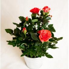 Роза микс ЗКС Патио Ниде d-12