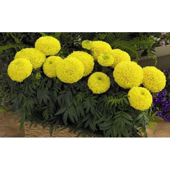 Бархатцы прямостоячие, шаровидный цветок, микс, кассета