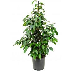 Фикус Ficus,3л.Собс.пр